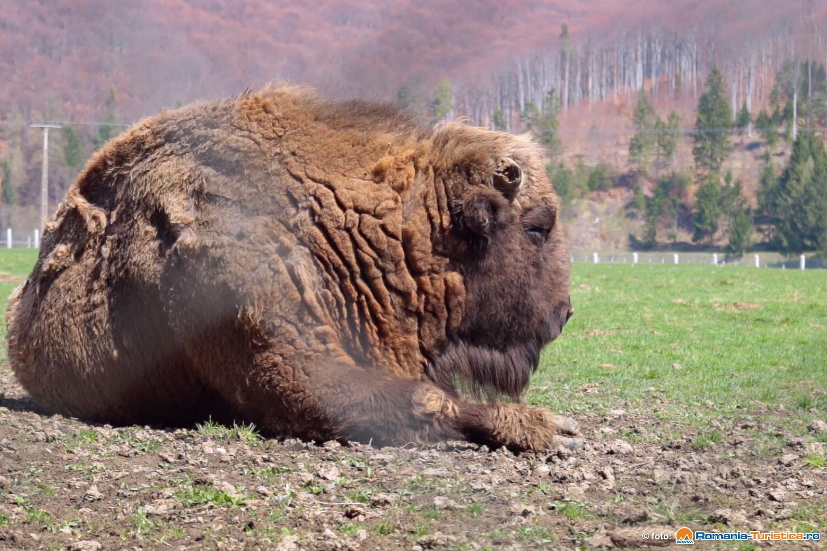 Rezervatia Naturala Valea Zimbrilor - Vama Buzaului