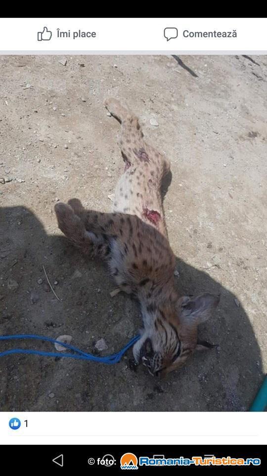 Cruzime fara margini: Doi barbati din localitatea Bunesti, judetul Brasov s-au ales cu dosar penal pentru ca au chinuit si omorat un pui de Ras Carpatin (Lynx Lynx)