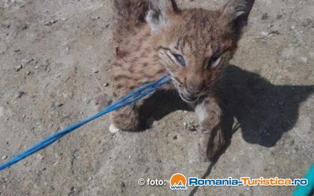 Puiul de Ras  - Lynx Lynx,  gasit mort  la Bunesti, a ajuns la DSV Sibiu pentru necropsie abia astazi.  Expertiza sanitar veterinara privind cauzele mortii animalului este dificila deoarece cadavrul animalului este in stare avansata de degradare.
